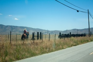 Cattle roundup, Tehachapi, CA, 2015